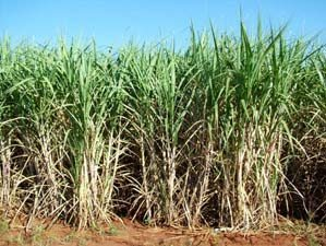 Prontas as enzimas que fazem etanol de resíduos agrícolas