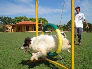 É Domingo: Itu recebe os melhores cães atletas para finais do Campeonato Paulista de Agility
