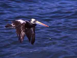 Foto: Los principales invertebrados marinos presentes en la zona ser¡an el erizo negro