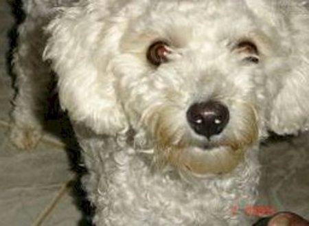 O poodle que salvou o Zeca de um monte de aborrecimentos