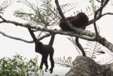 macaco Muriqui é o símbolo do parque. De uma população de mais de 400 mil em 1971 estamos hoje com pouco mais de 3000. Precisamos defendê-lo