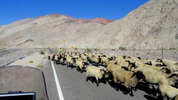 Com frequência cruzávamos com rebanhos de ovelhas e lhamas